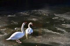 两只白色天鹅冰水冬天冷的太阳阳光鸟鸭子 免版税图库摄影