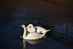 两只白色天鹅冰水冬天冷的太阳阳光鸟鸭子 免版税库存图片