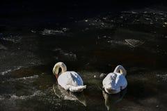 两只白色天鹅冰水冬天冷的太阳阳光鸟鸭子 免版税库存照片