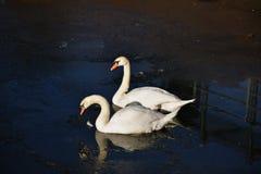 两只白色天鹅冰水冬天冷的太阳阳光鸟鸭子 库存图片