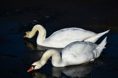 两只白色天鹅冰水冬天冷的太阳阳光鸟鸭子 图库摄影