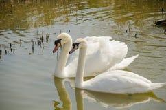 两只白色天鹅在一起池塘 免版税图库摄影