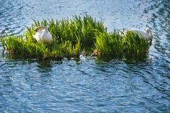 两只白色天鹅在湖 免版税库存照片