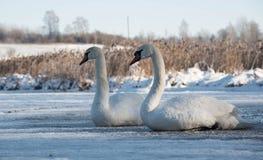 两只白色天鹅坐冰在冬天 免版税图库摄影