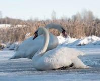 两只白色天鹅坐冰在冬天 库存图片