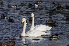 两只白色天鹅游泳在水中 库存图片