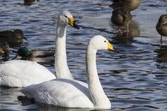 两只白色天鹅游泳在水中 免版税库存照片