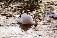 两只白色天鹅漂浮在漂浮河的公园白色天鹅的水 库存图片