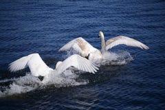 两只白色天鹅 免版税库存图片