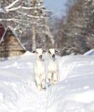 两只白色小山羊 库存图片