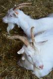 两只白色山羊在动物园槽枥在 库存图片