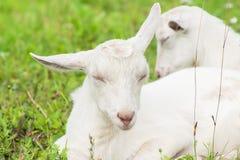 两只白色山羊在畜栏睡着在草 免版税库存图片
