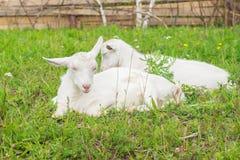 两只白色山羊在畜栏睡着在草 库存照片