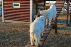 两只白色山羊战斗与在一个倾斜的楼梯的垫铁 图库摄影