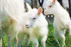 两只白色幼小山羊 库存图片