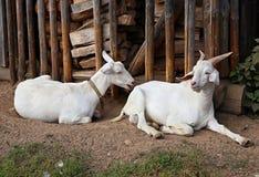 两只白色本国山羊 射击户外 免版税库存照片