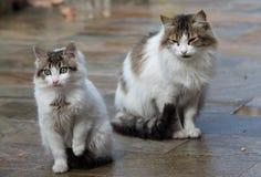 两只白色猫坐地面 免版税图库摄影