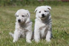 两只白色瑞士人牧羊人小狗 免版税库存图片