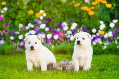 两只白色瑞士牧羊人` s小狗和平纹小猫在绿色gr 免版税库存照片