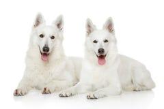 两只白色瑞士牧羊犬 免版税库存照片