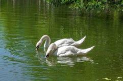 两只白色美丽的天鹅饮用水 库存图片