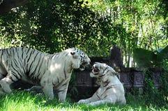 两只白色老虎战斗 巴厘岛印度尼西亚 库存照片