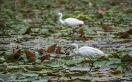 两只白色苍鹭钓鱼 库存照片