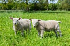 两只白色荷兰绵羊在绿色春天草甸 免版税库存照片