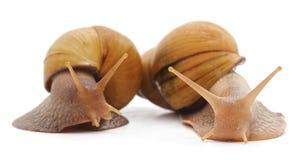 两只白色蜗牛 免版税库存图片