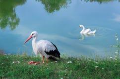 两只白色鸟、坐的鹳和水鸟天鹅在湖 免版税图库摄影