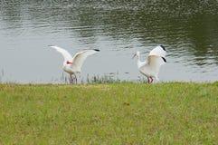两只白色鸟飞行 库存照片