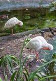 两只白色鸟 库存照片