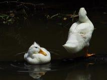 两只白色鸭子在黑暗沐浴 免版税库存照片