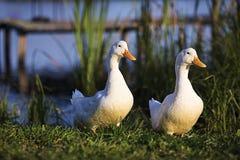 两只白色鸭子来到池塘的岸 库存照片