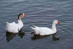两只白色鸭子游泳 免版税库存照片