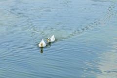 两只白色鸭子游泳 免版税图库摄影