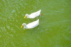 两只白色鸭子游泳 库存图片