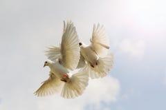 两只白色鸽子振翼反对与晴朗的热点的天空 库存照片