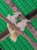两只白色鹦鹉-白色美冠鹦鹉- Cacatua galerita -坐  免版税库存图片