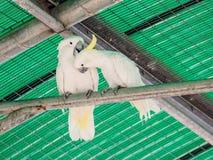 两只白色鹦鹉-白色美冠鹦鹉- Cacatua galerita -坐  库存照片