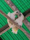 两只白色鹦鹉-白色美冠鹦鹉- Cacatua galerita -坐  免版税图库摄影