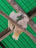两只白色鹦鹉-白色美冠鹦鹉- Cacatua galerita -坐  免版税库存照片