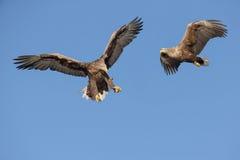 两只白被盯梢的老鹰 免版税库存图片