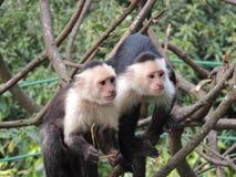 两只白头的连斗帽女大衣猴子 免版税图库摄影