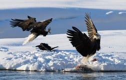 两只白头鹰为牺牲者战斗 美国 飞机场 Chilkat河 库存图片