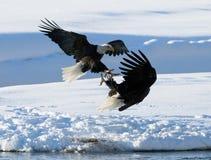两只白头鹰为牺牲者战斗 美国 飞机场 Chilkat河 图库摄影