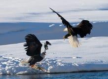 两只白头鹰为牺牲者战斗 美国 飞机场 Chilkat河 免版税库存图片