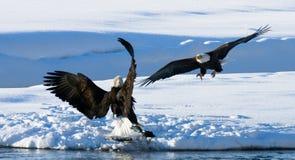两只白头鹰为牺牲者战斗 美国 飞机场 Chilkat河 免版税图库摄影