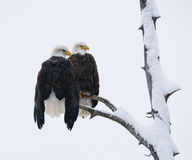 两只白头鹰坐树枝 美国 飞机场 Chilkat河 图库摄影