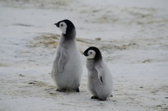 两只皇企鹅小鸡 库存图片